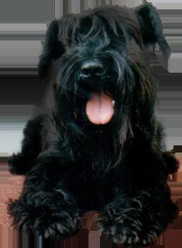 sznaucer, nasze psy